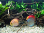 Výstava akvarijních ryb (Rychnov)